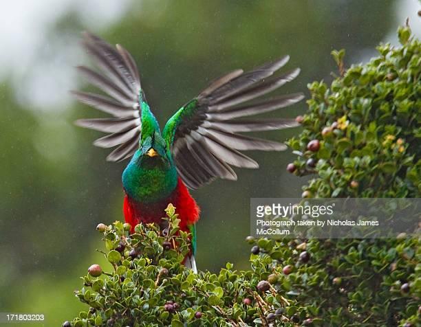 Quetzal Taking Flight