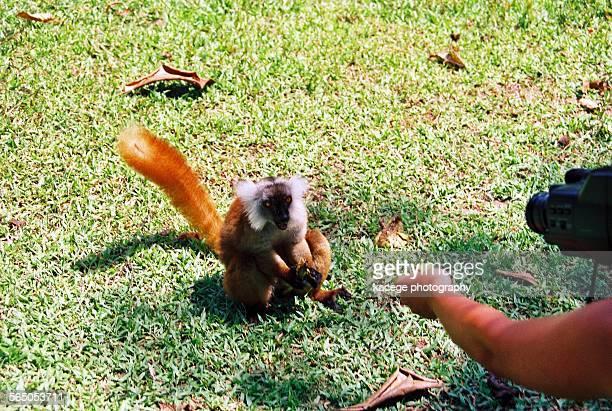 quid pro quo, lemur! - quid pro quo stock photos and pictures