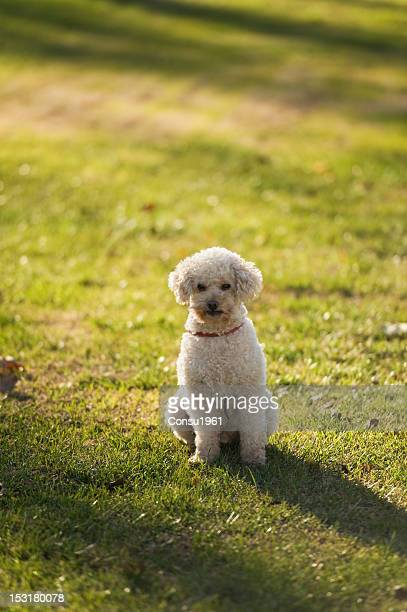 quiet dog - standard poodle stock photos and pictures