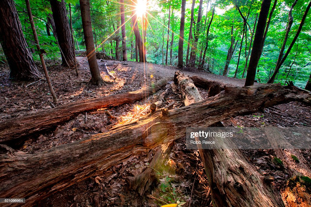Quiet forest landscape with fallen logs and evening sun bursting through the trees : Stock Photo