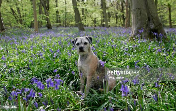 Quiet moment for a Border Terrier dog called Jess among bluebells growing in a wood.