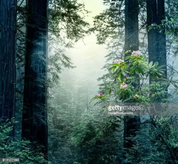 Quiet morning in the redwoods