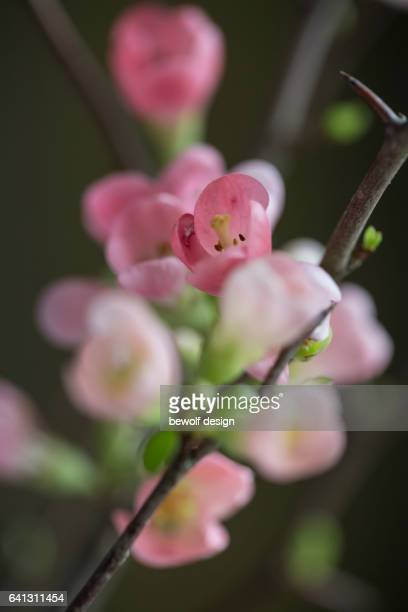 quince branches in detail - quittenzweige - nahaufnahme - nahaufnahme stock pictures, royalty-free photos & images