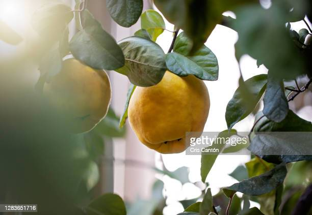 quince fruit growing on tree - cris cantón photography fotografías e imágenes de stock