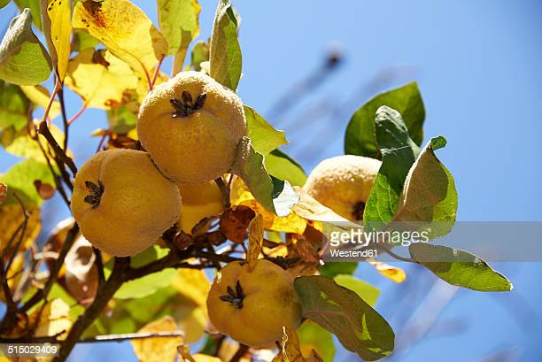 Quinces, Cydonia oblonga, hanging on tree