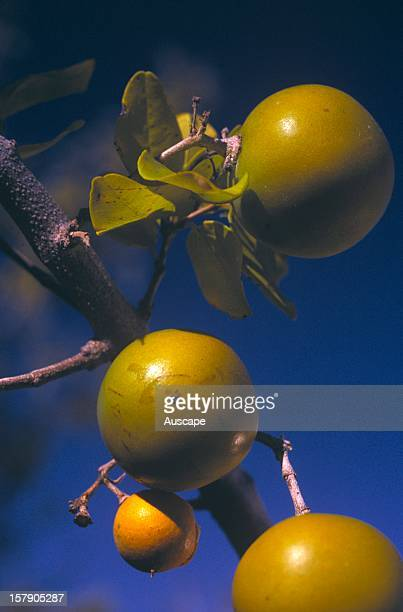 Quinine tree Aboriginal medicinal plant fruit held in mouth for toothache for sore eyes drops from an infusion of the bark fruit chewed to alleviate...