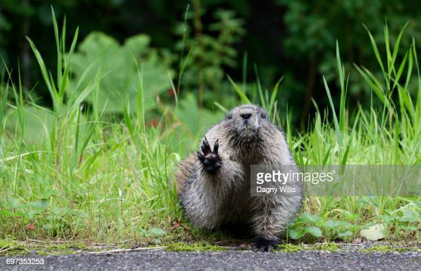 quirky moments - funny groundhog stock photos and pictures