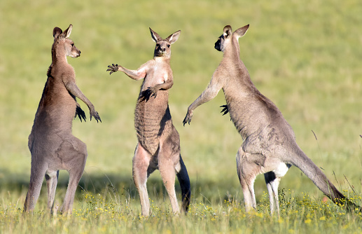 Quirky photo of three large male kangaroos standing in face-off 871536696