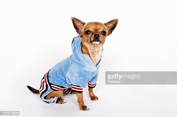 60 Top Chihuahua Dog Pictures, Photos, & Images - Getty Images