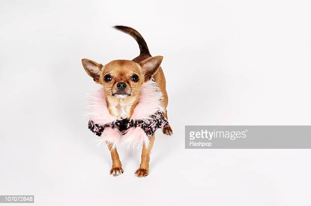 Quirky portrait of a Teacup Chihuahua