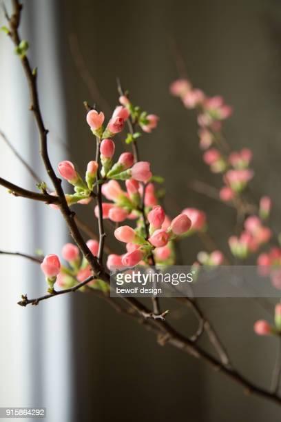 quittenzweige - nahaufnahme, quince branches in detail - februar stock-fotos und bilder