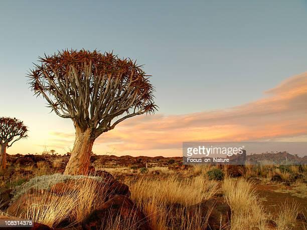 Köcherbaum und felsigen Landschaft