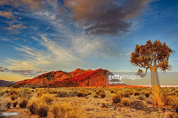 quiver tree at dusk - south africa stock pictures, royalty-free photos & images