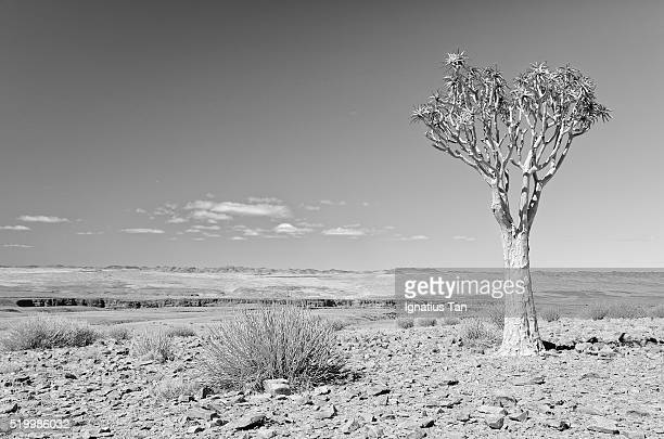 quiver tree at fish river canyon, namibia - ignatius tan stock photos and pictures