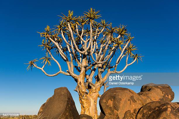 Quiver Tree at Giants Playground in Keetsmanshoop, Namibia, Afrika