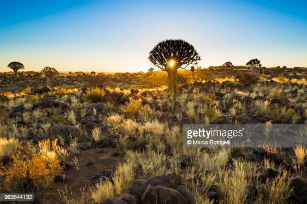 quiver tree forest at sunset, namibia - köcherbaum stock-fotos und bilder