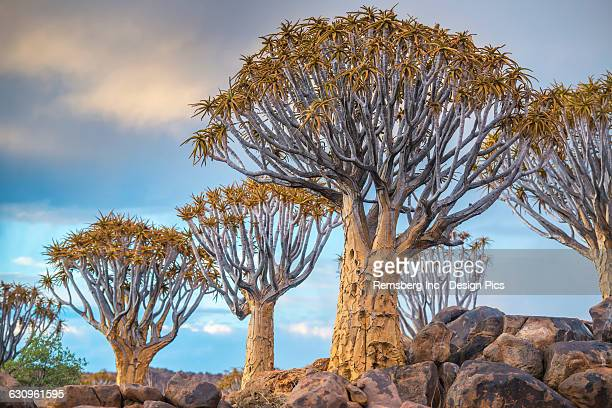 Quiver tree (Aloe dichotoma) forest in the Playground of the Giants