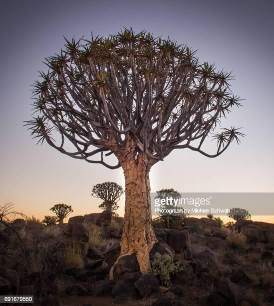 quiver tree forest, namibia - köcherbaum stock-fotos und bilder