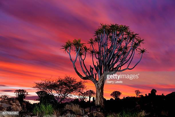 A quiver tree forest near Keetmanshoop Namibia at dusk It is a lovely plant not a tree at all but an aloe which is shaped like a menorah and can grow...