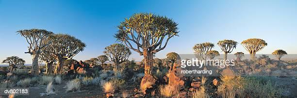quiver tree forest near ketmanshoop, namibia, africa, - köcherbaum stock-fotos und bilder