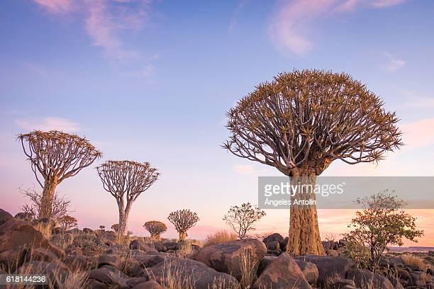 quiver tree forest - köcherbaum stock-fotos und bilder