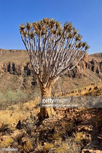 quiver tree (aloe dichotoma) in dry landscape, naukluft mountains, namib-naukluft-nationalpark, namibia - nationalpark stock pictures, royalty-free photos & images
