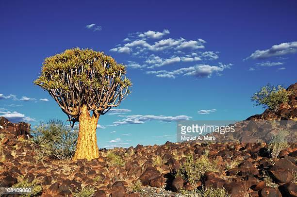 quiver tree. namibia - köcherbaum stock-fotos und bilder