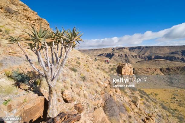 quiver tree or kokerboom (aloe dichotoma), naukluft mountains, namibia - {{asset.href}} stock-fotos und bilder