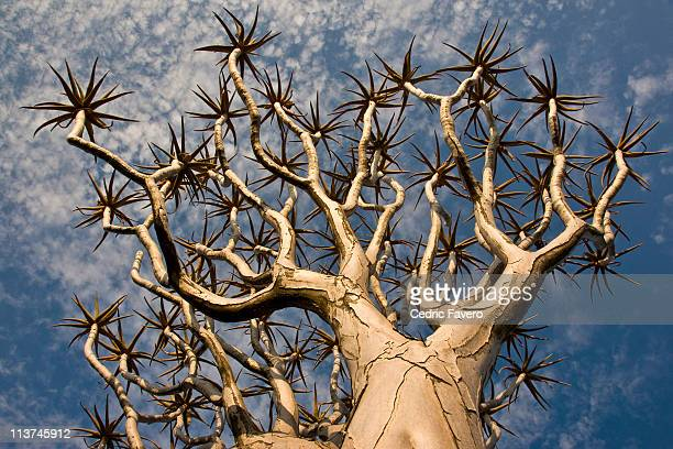 quiver tree - köcherbaum stock-fotos und bilder