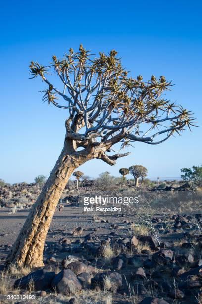 quiver tree - iñaki respaldiza stock-fotos und bilder