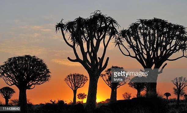 köcherbaum silhouetten am sonnenuntergang in keetmanshoop, namibia - köcherbaum stock-fotos und bilder