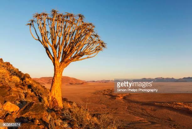 quiver tree sunset, greenfire desert lodge, namibia - köcherbaum stock-fotos und bilder