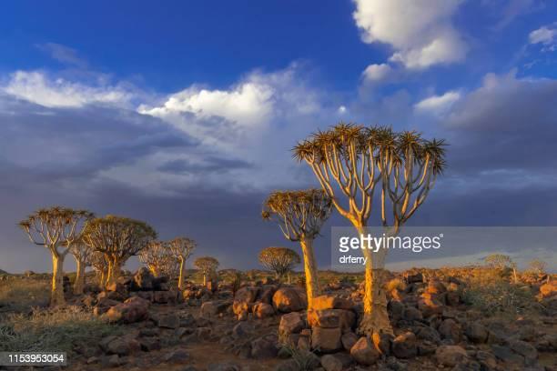 leise bäume und ein herüber gediebener gewitter, südnamibia - köcherbaum stock-fotos und bilder