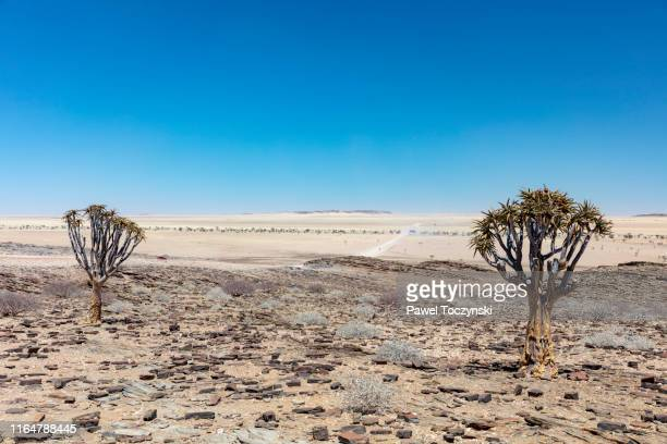 quiver trees and savanna in namib-naukluft national park in erongo region, namibia, 2018 - namib naukluft national park stock pictures, royalty-free photos & images