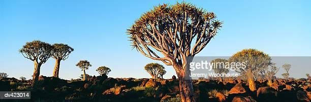 quiver trees (kokerboom), keetmanshoop, namibia, africa - köcherbaum stock-fotos und bilder