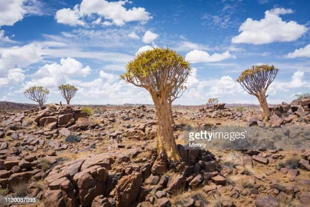 Quiver Trees Namibia Keetmanshoop Desert