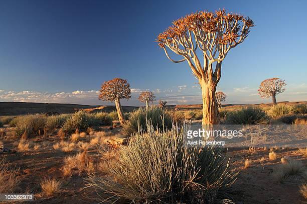 quiver trees - köcherbaum stock-fotos und bilder