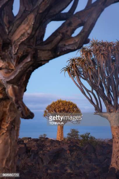 quivertree forest in keetmanshoop, namibia - köcherbaum stock-fotos und bilder