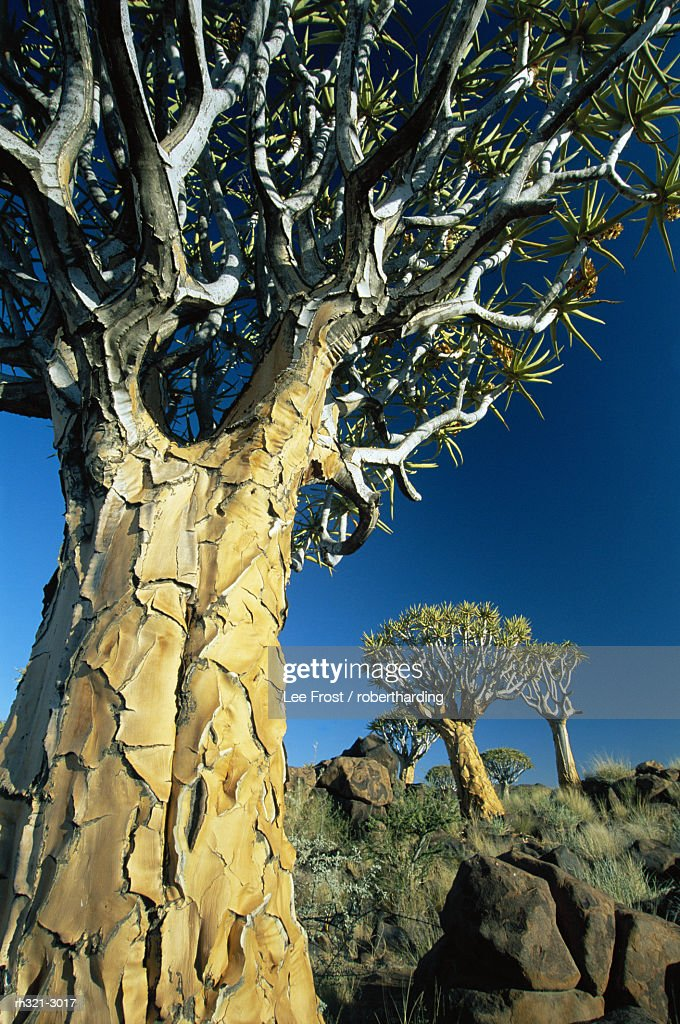 Quivertrees (Kokerbooms) in the Quivertree Forest (Kokerboowoud), near Keetmanshoop, Namibia, Africa : Stockfoto