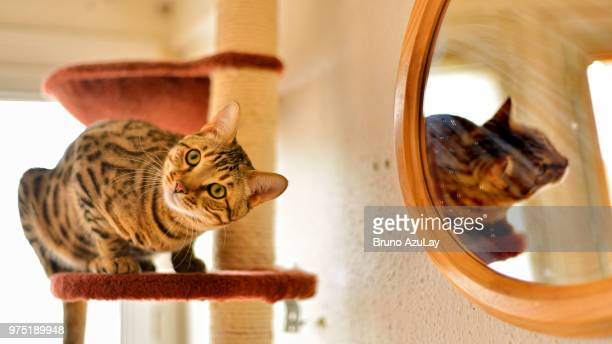 quoi ma gueule ? - bengal cat stock pictures, royalty-free photos & images