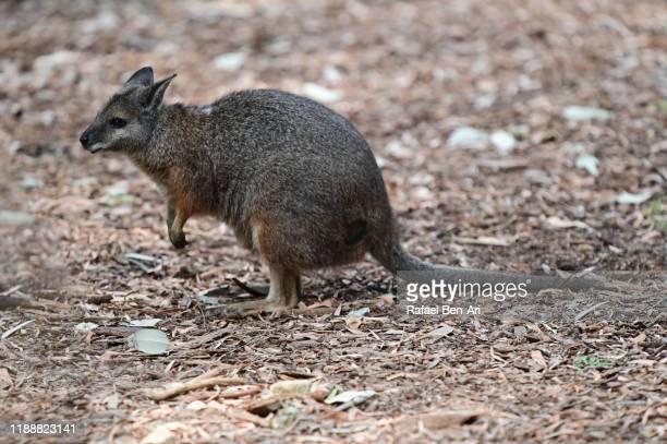 quokka animal rottnest island western australia - rafael ben ari stock-fotos und bilder