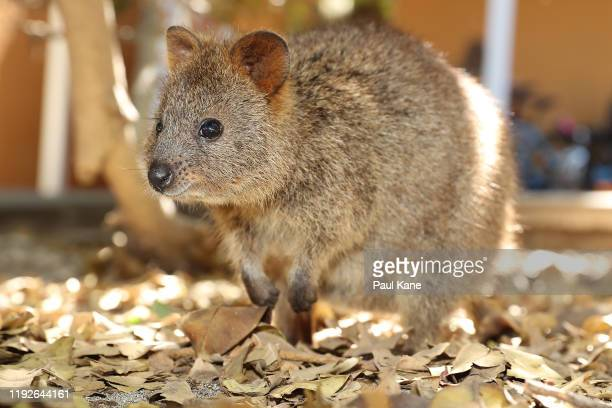 Quokka is seen during a visit by New Zealand Test team players to Rottnest Island on December 08 2019 in Perth Australia