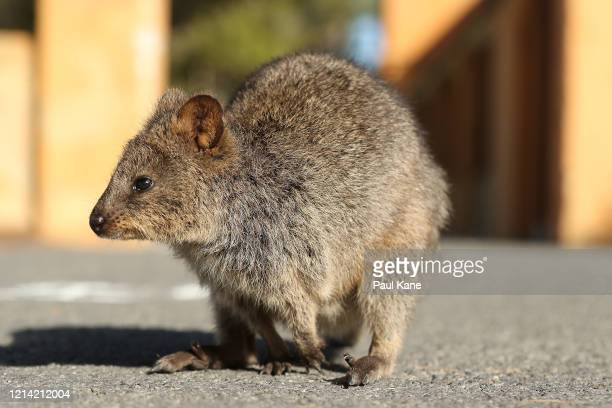 Quokka is seen in the Settlement area on March 23, 2020 in Rottnest Island, Australia. The West Australian state government announced Rottnest...