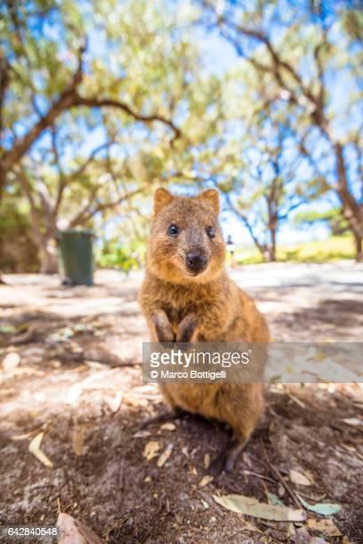 A Quokka marsupial on Rottnest Island, Western Australia.