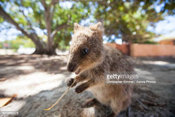 Quokka (Setonix brachyurus) on Rottnest Island, Perth, Western Australia, Australia