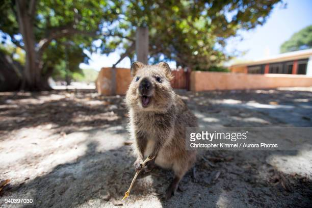 quokka (setonix brachyurus) on rottnest island, perth, western australia, australia - quokka photos et images de collection