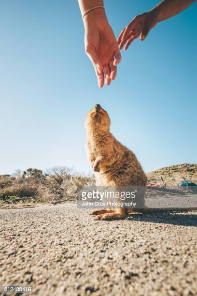quokka petting