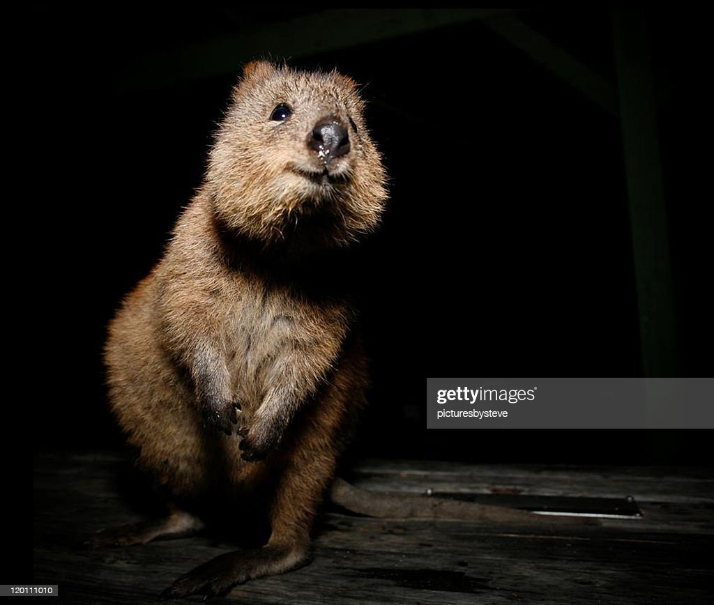 Quokka : Stock Photo