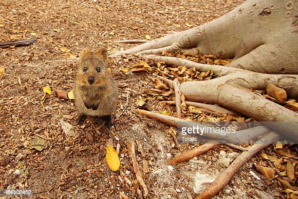 Lost looking quokka