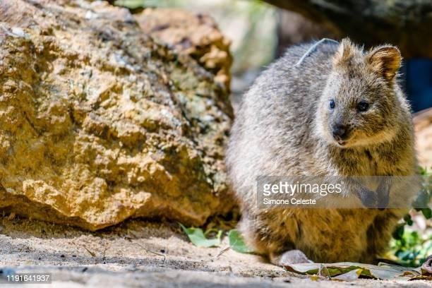 quokka, rottnest island, australia - quokka photos et images de collection